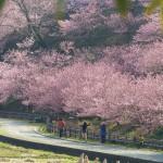一の堰ハラネ 桜