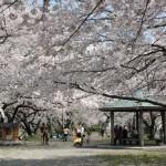 大口桜まつり