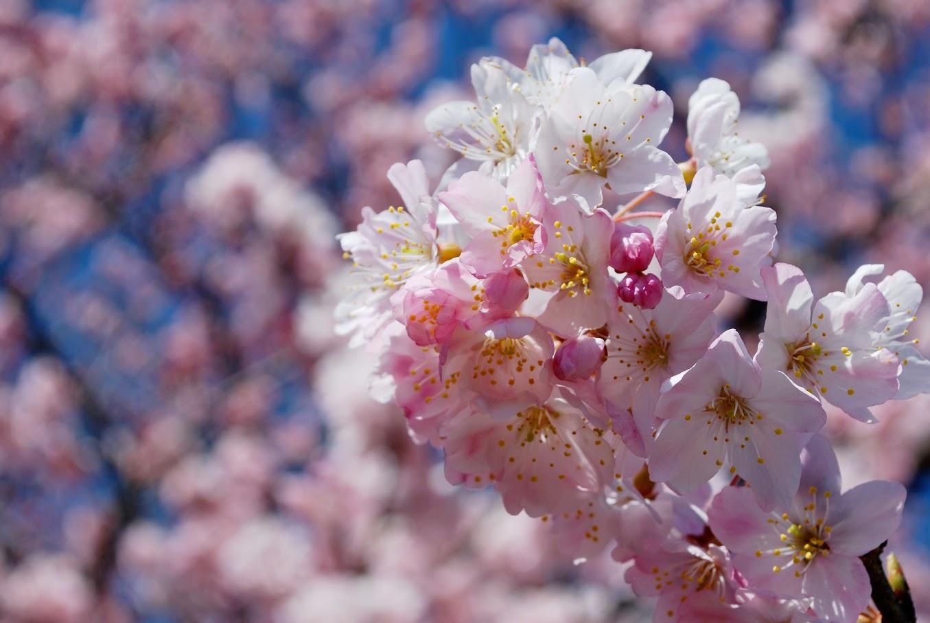 春めきは咲きかけが紅く、花が開くにつれ白くなります